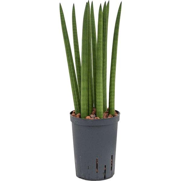 Sansevieria Cylindrica Straight - hydrocultuur