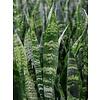 Sansevieria Coral Black - hydrocultuur