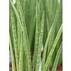 Sansevieria Spikes - hydrocultuur