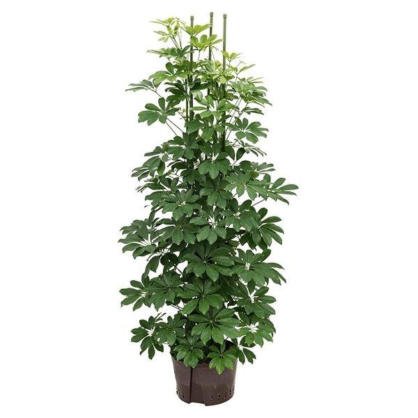 Schefflera Arboricola - hydrocultuur