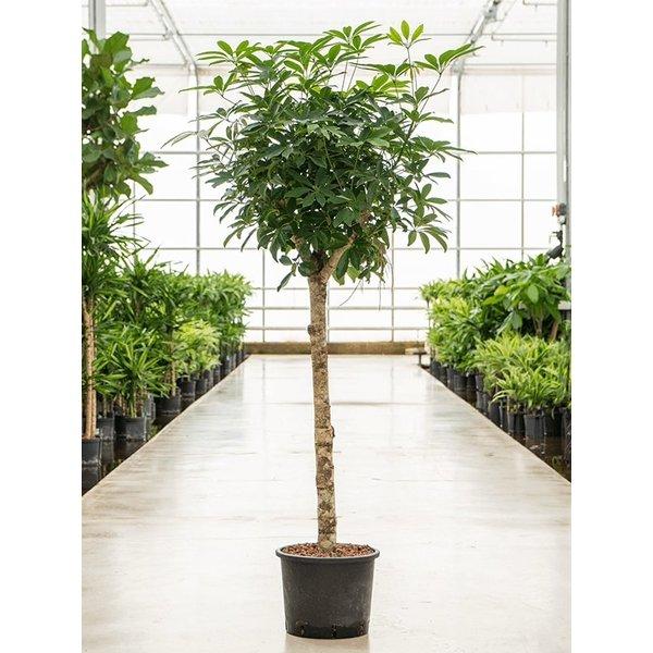 Schefflera Arboricola op stam  - hydrocultuur