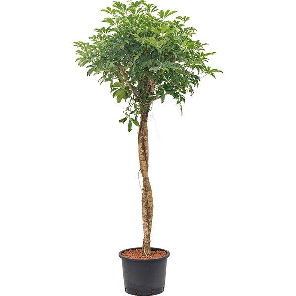 Schefflera Arboricola op stam twist - hydrocultuur