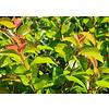 Prunus Lusitanica 'Tico' hoogstam