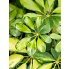 Schefflera Gold Capella vertakt - hydrocultuur