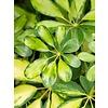 Schefflera Gold Capella stam gevlochten - hydrocultuur