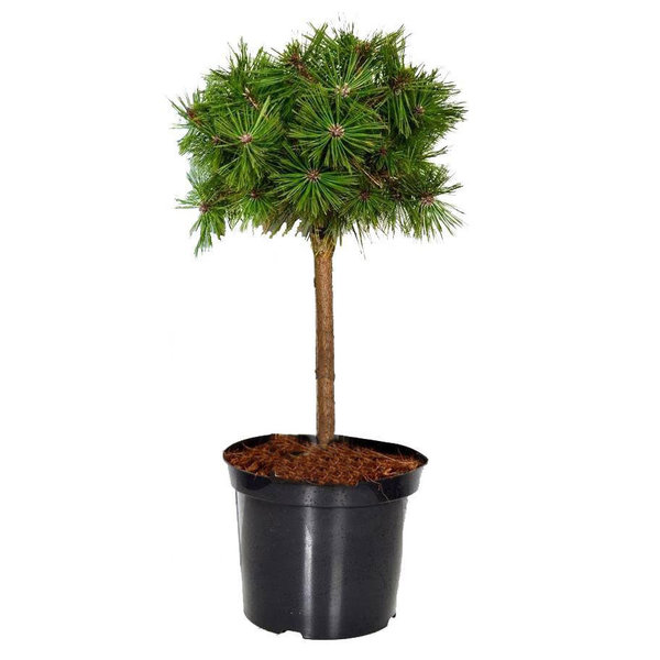 Pinus Pinea Parasolden