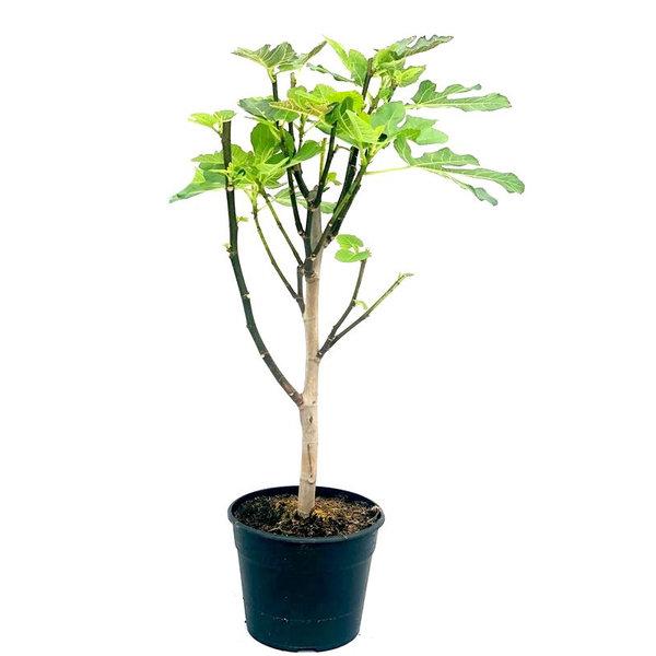 Ficus carica Vijgenboom Medium