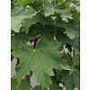 Acer pl. 'Globosum' Groene Bolesdoorn