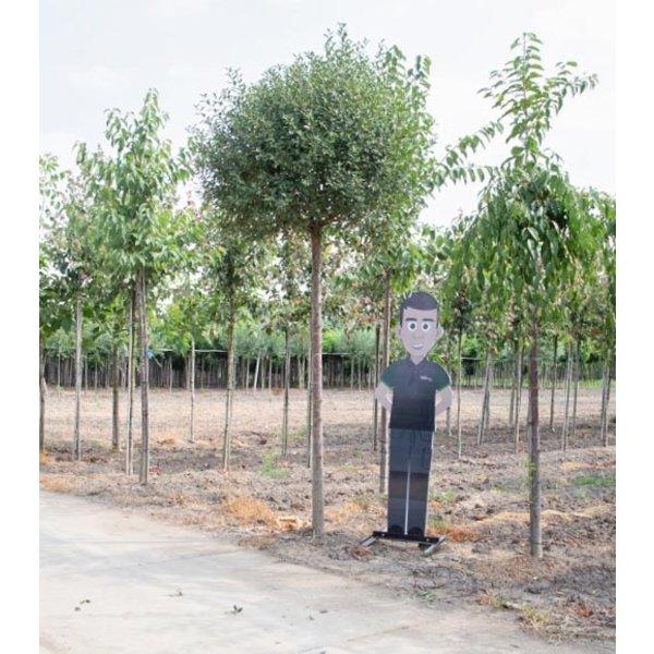 Prunus eminens 'Umbraculifera' Bolkers