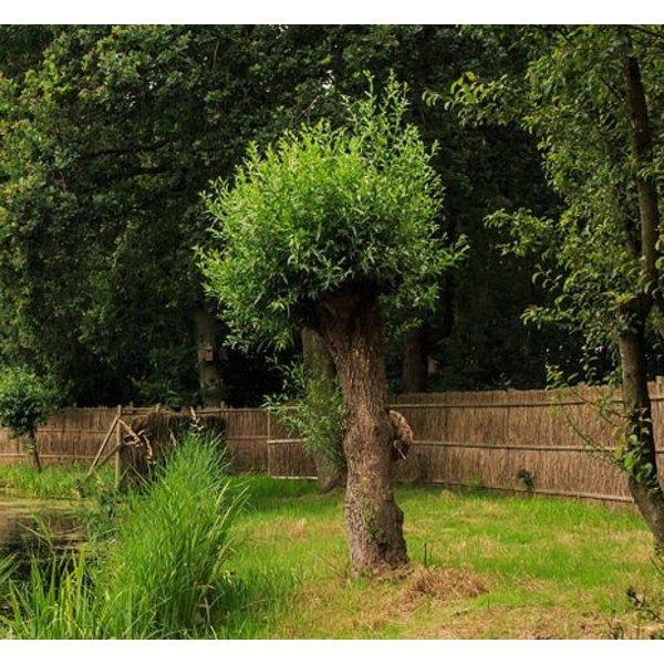 Salix alba Knotwilg