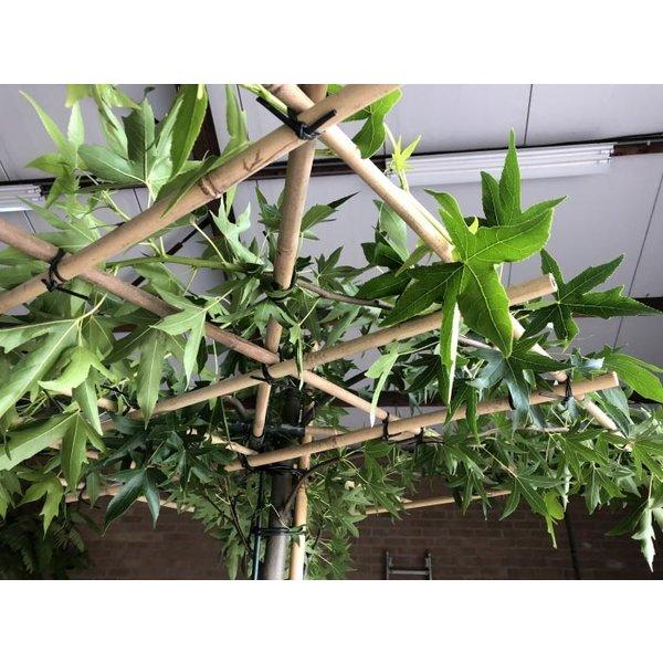 Dak-amberboom 'Worplesdon' vierkant dak
