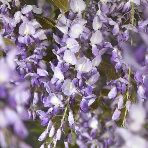 Blauwe Regen Dakboom 'Wisteria Chinensis'