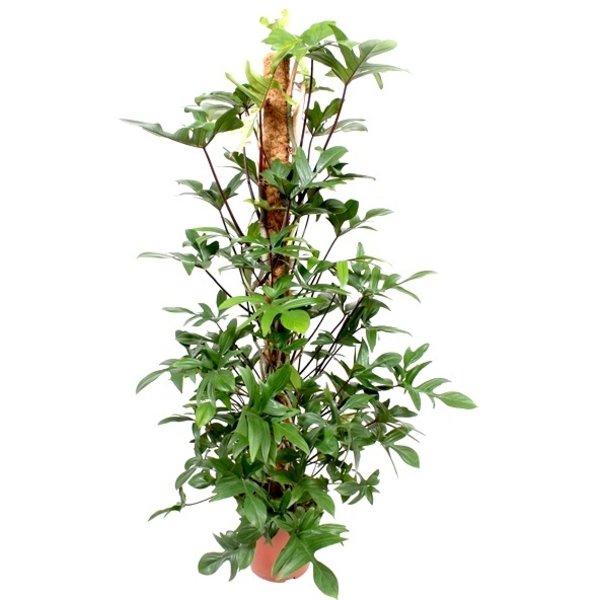 Philodendron Pedatum