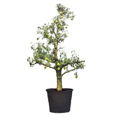 Bijzondere Fruitbomen