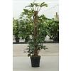 Philodendron Pedatum in pot white
