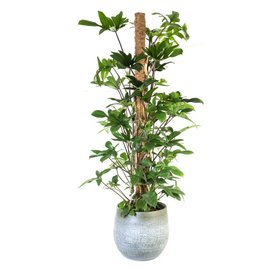 Fleur.nl - Philodendron Pedatum in pot white