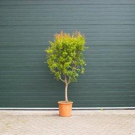 Fleur.nl - Granaatappelboom