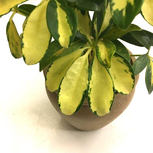 Schefflera Trinette - hydrocultuur