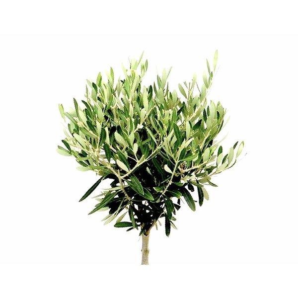 Olijfboom op stam small