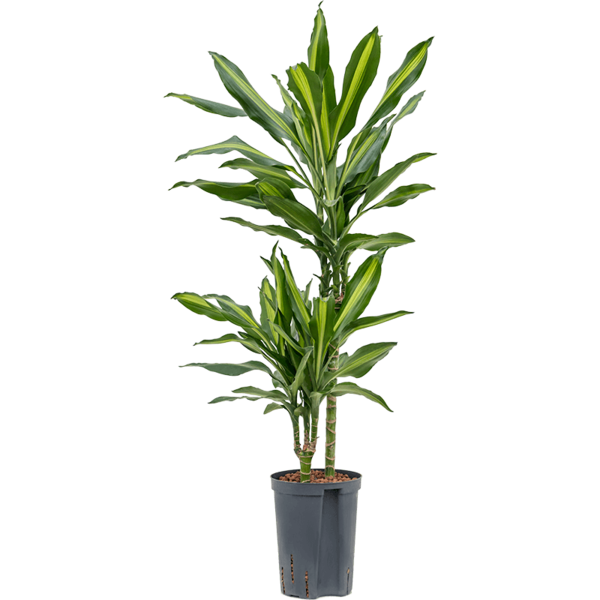 Dracaena Cintho 2-stam - hydrocultuur