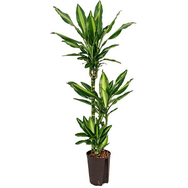 Dracaena Cintho 3-stam - hydrocultuur