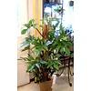 Philodendron Pedatum Red squamiferum