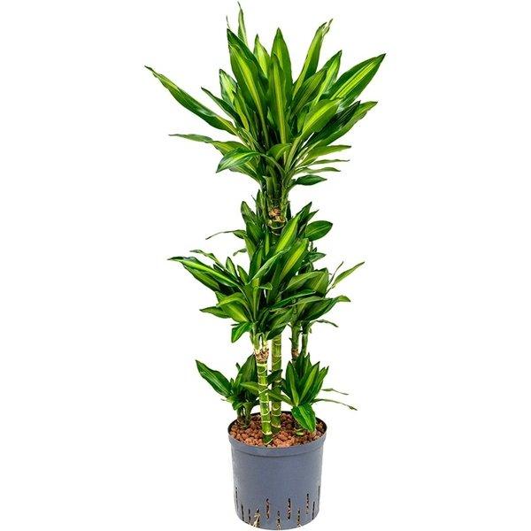 Dracaena Cintho carrousel - hydrocultuur