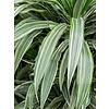 Dracaena Deremensis - hydrocultuur