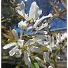 Lei-Magnolia kobus Beverboom