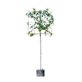 Fleur.nl - Lei-Magnolia kobus Beverboom