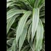 Dracaena Deremensis 2-stam - hydrocultuur