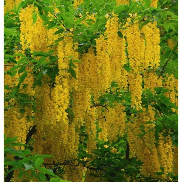 Laburnum alpinum 'Pendulum' Treur Gouden Regen