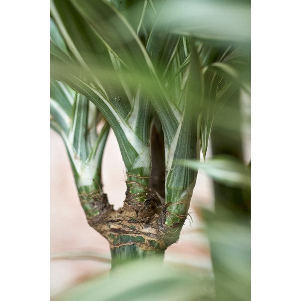 Dracaena Deremensis 3-stam - hydrocultuur