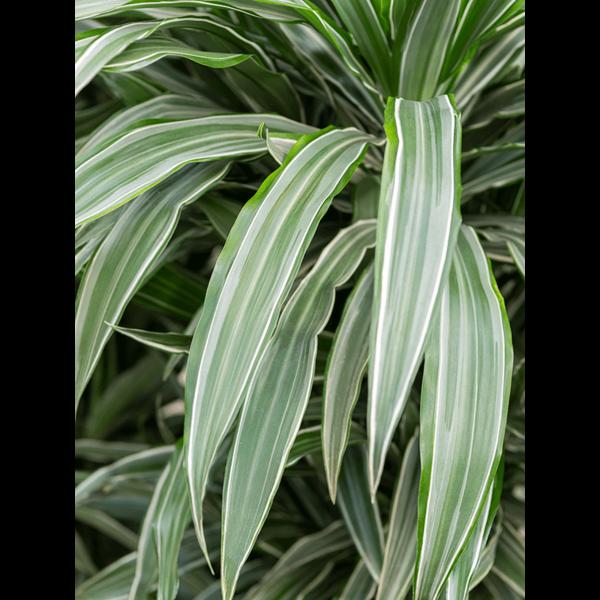 Dracaena Deremensis carrousel - hydrocultuur