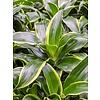 Dracaena Dorado 2-stam - hydrocultuur