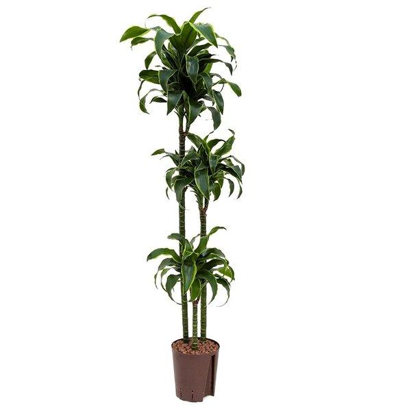 Dracaena Dorado 3-stam - hydrocultuur