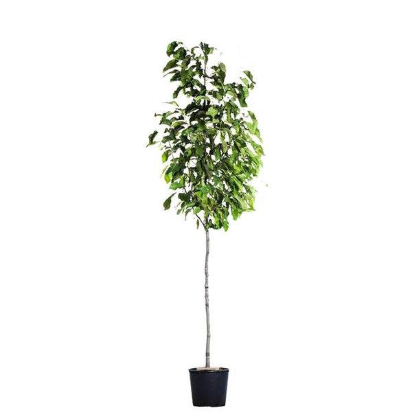 Magnolia Leonard Messel'