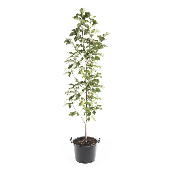Magnolia Soulangeana laagstam