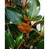 Lei-Magnolia grandiflora