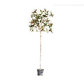 Fleur.nl - Lei-Magnolia grandiflora
