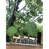 Cercidiphyllum japonicum Katsuraboom