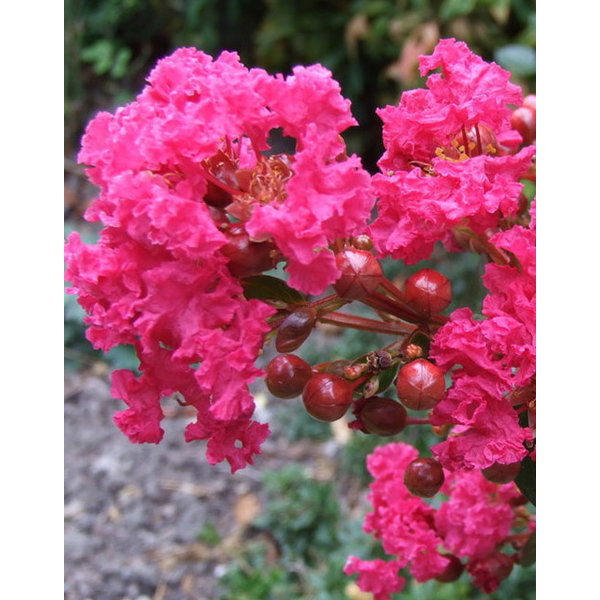 Lagerstroemia indica 'Enduring Pink'