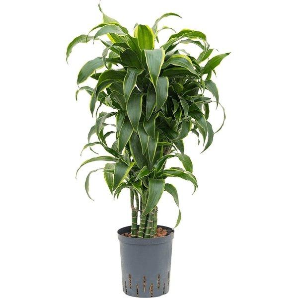 Dracaena Dorado vertakt - hydrocultuur