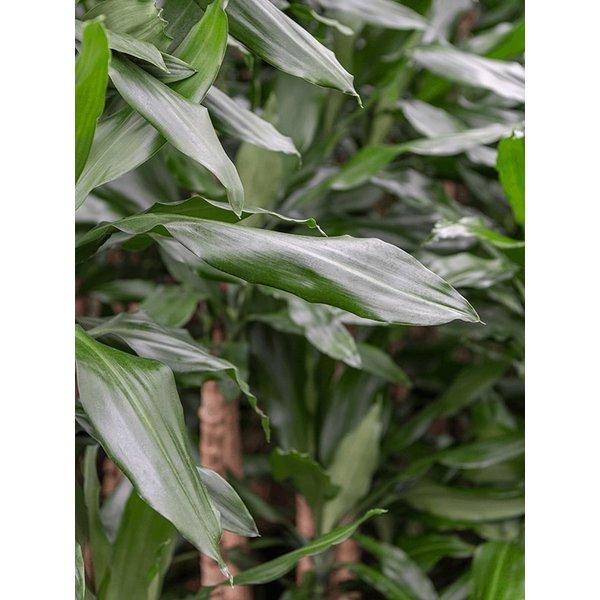 Dracaena Fragrans 4-stam - hydrocultuur