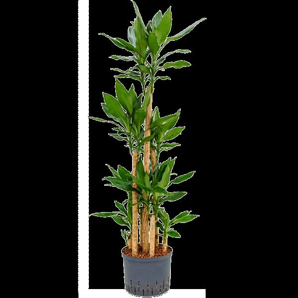 Dracaena Fragrans carrousel - hydrocultuur