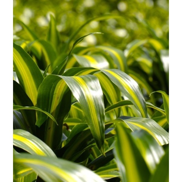 Dracaena Hawaiian Sunshine 4-stam - hydrocultuur