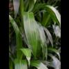 Dracaena Janet Lind 4-stam  - hydrocultuur