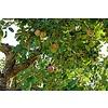 Grote appelboom 'Elstar'