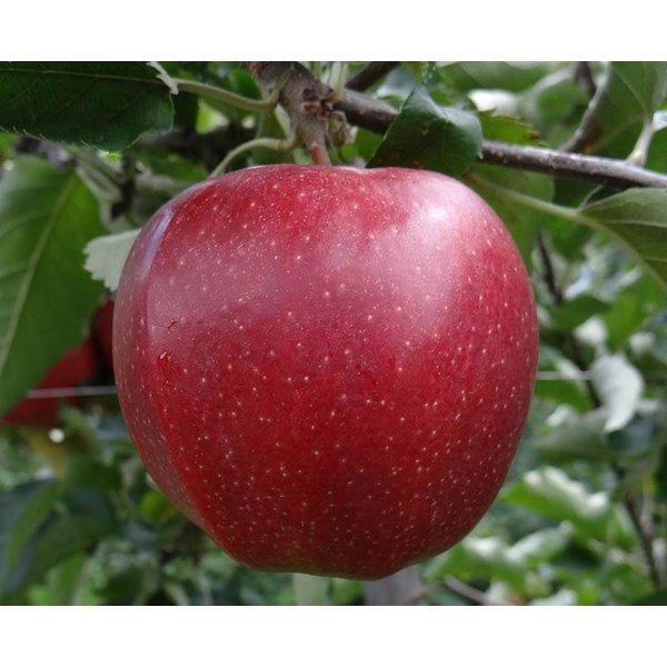 Grote appelboom 'Jonagold'