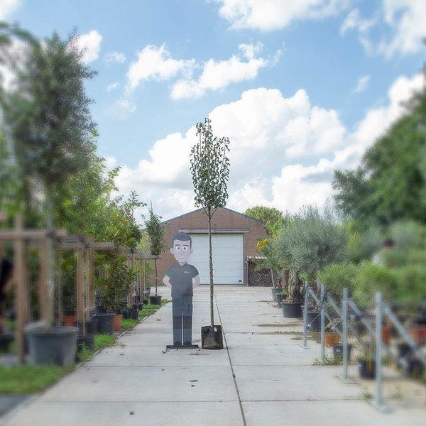 Grote perenboom 'Gieser Wildeman'